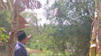 Seorang warga Desa Kenongosari, Kecamatan Soko, Kabupaten Tuban, Jawa Timur, menunjukkan keberadaan sarang tawon ndas yang menyerang seorang petani hingga tewas. (Liputan6.com/ Ahmad Adirin)