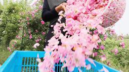 Seorang petani menuangkan kelopak mawar yang bisa dimakan ke dalam keranjang di Haian, Provinsi Jiangsu, China, Senin (14/5). (AFP)