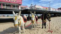 Turis yang datang ke tempat liburan tepi laut senang memanjakan beberapa keledai milik warga setempat dengan es krim dan cemilan lain.