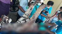Seekor harimau Sumatera mati akibat ditombak warga di Kecamatan Batang Natal, Kabupaten Mandailing Natal, Sumatera Utara. (Foto: Dok. BBKSDA Sumut/Reza Efendi/Liputan6.com)