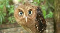 Para penjaga hutan kemudian mengasuh anak-anak burung itu, walaupun nantinya akan dilepaskan kembali pada bulan Agustus. (Sumber cuplikan video People's Daily)