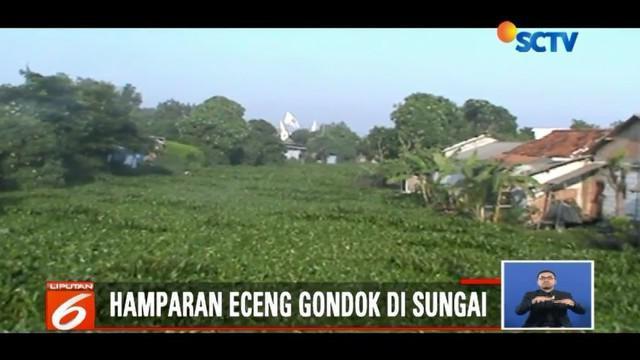 Ribuan eceng gondok penuhi Sungai Pisang Batu, Bekasi, sehingga menghambat aliran sungai dan menyebabkan banjir.