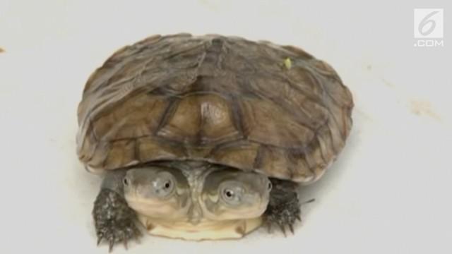 Bayi kura-kura berkepala dua ditemukan di  sebuah peternakan kura-kura di China