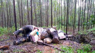 Kondisi gajah Sumatera yang ditemukan mati tanpa kepala dan gading di sebuah hutan di Bengkalis, Riau (20/11/2019). Gajah tersebut diyakini menjadi korban perburuan liar. (Indonesian Natural Resourches Co/AFP)