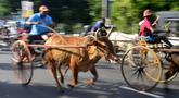 Sejumlah peserta ikut ambil bagian dalam perlombaan balap gerobak sapi di Kolombo, Sri Lanka, Sabtu (20/4). Festival tradisional ini digelar untuk merayakan Tahun Baru umat Hindu, Sinhala dan Tamil di Sri Lanka. (LAKRUWAN WANNIARACHCHI/AFP)