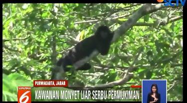 Setiap hari, setidaknya dua jenis kawanan monyet liar turun gunung yakni monyet ekor panjang dan lutung.