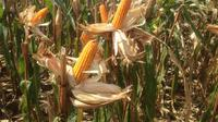 Bambang Sugiharto menyatakan bahwa berdasarkan Data Badan Pusat Statistik (BPS) disimpulkan produksi dan pasokan jagung tahun 2018 surplus sebesar 12 juta ton pipilan kering (PK).