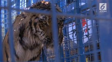 Dua harimau bernama Sayida dan Soltan ini akan mendapat perawatan khusus di Belanda.