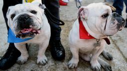 Ekpresi anjing Bulldog saat berkumpul untuk meraih Rekor Guinness di Mexico City di Meksiko (26/2). Bulldog adalah salah satu anjing ras tertua di dunia yang berasal dari Inggris, yang sering dikenal sebagai English Bulldog. (AFP/Alfredo Estrella)