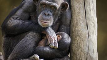Mengapa Induk Primata Bawa Jasad Bayinya Bertahun-tahun? Ini Penjelasannya