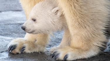 Bayi beruang kutub berjalan bersama induknya Nora saat penampilan publik pertamanya di Kebun Binatang Schoenbrunn, Wina, Austria, Kamis (13/2/2020). Anak beruang kutub yang tidak disebutkan namanya tersebut lahir pada 9 November 2019. (JOE KLAMAR/AFP)