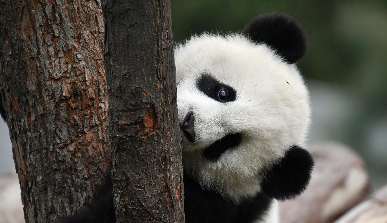 Panda bernama Jia Jia bermain di pusat penelitian dan penangkaran panda raksasa Qinling di Provinsi Shaanxi, China (31/3/2020). Pada 2019, tiga anak panda Jia Jia, Yuan Yuan, dan Qin Kuer lahir di tempat tersebut. Berkat perawatan para staf, ketiganya tumbuh besar dan sehat. (Xinhua/Zhang Bowen)