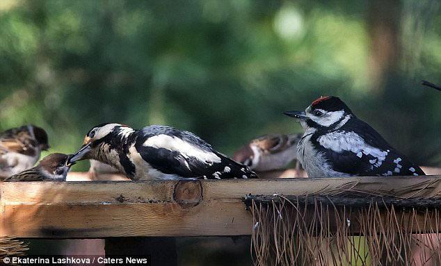 Unduh 500+  Gambar Burung Pelatuk Anakan  Paling Bagus