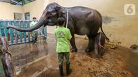 Keeper memandikan induk gajah betina bernama Nina dan bayi gajah bernama Covid, yang berusia 1 bulan di Taman Safari Indonesia Cisarua, Bogor, Jawa Barat, Rabu (27/5/2020). Bayi Gajah Covid yang lahir pada Selasa (28/4) mendapat perawatan rutin selama pandemi. (Liputan6.com/Fery Pradolo)
