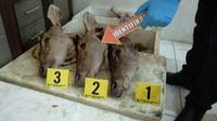 Bukti pemburuan rusa timor yang dilakukan perwira polisi. (Liputan6.com/Yandhi Deslatama)