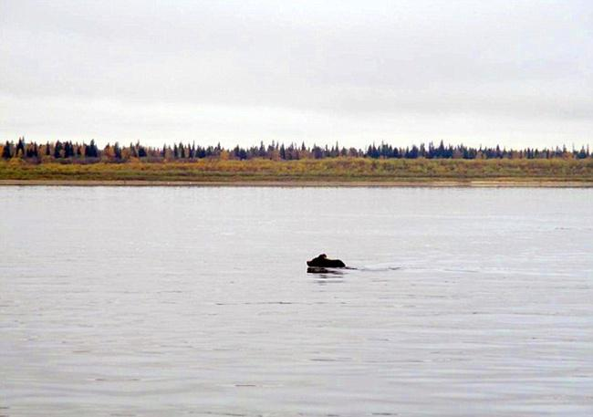 Induk beruang berenang ke seberang sungai dan tak pernah kembali pada anak-anaknya | Photo: Copyright dailymail.co.uk