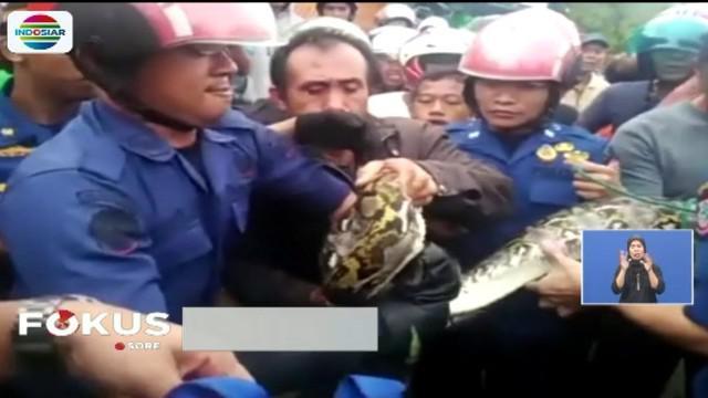 Warga di Makassar geger oleh Ular sanca sepanjang empat meter yang akan masuk ke dalam rumah warga di Makassar.