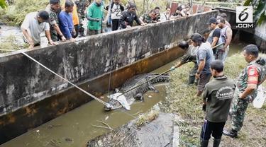 Buaya peliharaan yang memangsa seorang wanita di Minahasa akhirnya dievakuasi. Proses evakuasi tidak mudah, karena bobot buaya yang capai 300 kilogram.