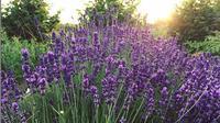 Tidak hanya cantik, bunga lavender juga dikenal sebagai tanaman pengusir nyamuk. (dok. Instagram @tranquillarosa/https://www.instagram.com/p/Bssp-l4HpHX/Esther Novita Inochi)