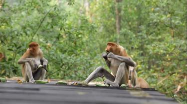 Monyet bekantan