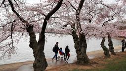 Wisawatan berjalan melintasi pohon Sakura yang sedang mekar di Washington (4/2). Festival Cherry Blossom tahun ini berlangsung dari 20 Maret sampai 15 April. (AP Photo/Jacquelyn Martin)