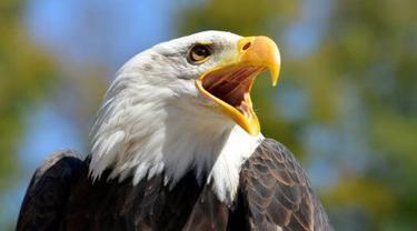 Ilustrasi bald eagle.
