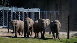 Gajah sirkus yang sudah pensiun terlihat di lingkungan mereka yang baru di Taman Safari Knuthenborg, Denmark, Sabtu (30/5/2020). Empat gajah itu dibeli pemerintah Denmark tahun lalu setelah dimulainya peraturan yang melindungi hewan liar dari bisnis pertunjukan. (Claus Bech/Ritzau Scanpix/AFP)