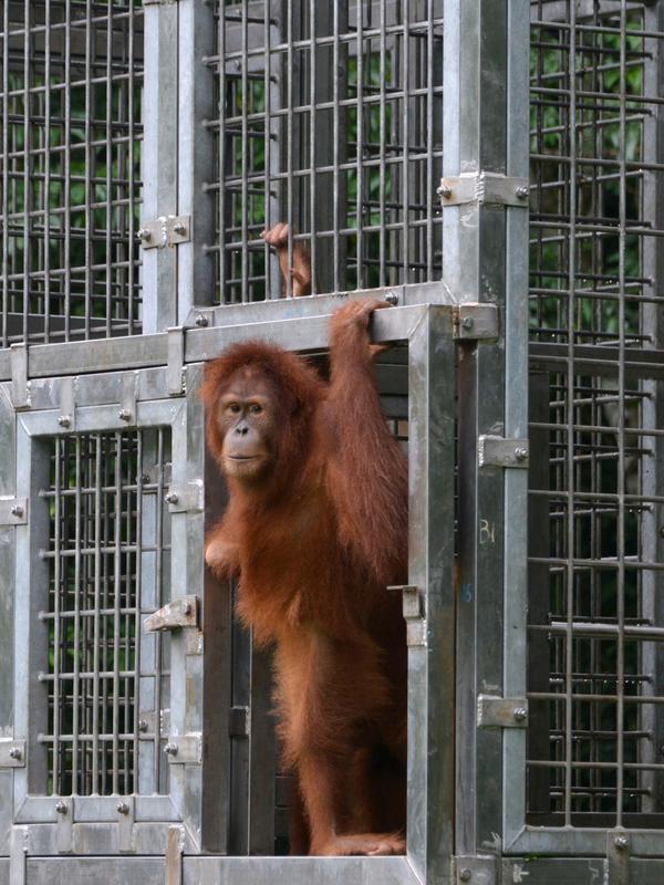 Orangutan bernama Elaine keluar kandang saat dilepasliarkan di Cagar Alam Hutan Pinus Jantho, Aceh Besar, Selasa (18/6/2019). Proses pelepasliaran dua orangutan digelar BKSDA Aceh bersama SOCP. (CHAIDEER MAHYUDDIN/AFP)