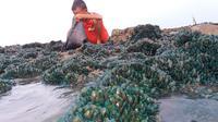 Seorang bocah sedang memunguti kerang hijau yang tiba-tiba muncul di pesisir Pantai Sungai Buntu, Desa Sungai Buntu, Kecamatan Pedes, Karawang. (Liputan6.com/ Abramena)