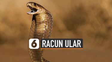 Awal musim hujan adalah waktunya ular kobra menetas. Mengingat punya racun berbisa, sehingga perlu antisipasi.