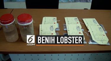 Direktorat Tindak Pidana Tertentu Bareskrim Polri kembali menggagalkan penyelundupan benih lobster senilai Rp 8,5 miliar. Total ada 44 kasus yang berhasil diungkap, dimana sekitar 3,5 juta ekor berhasil diamankan.