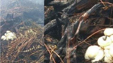 Heboh, Penemuan Sarang Dan Telur Ular Piton Di Lahan Terbakar Pangkalan Kerinci