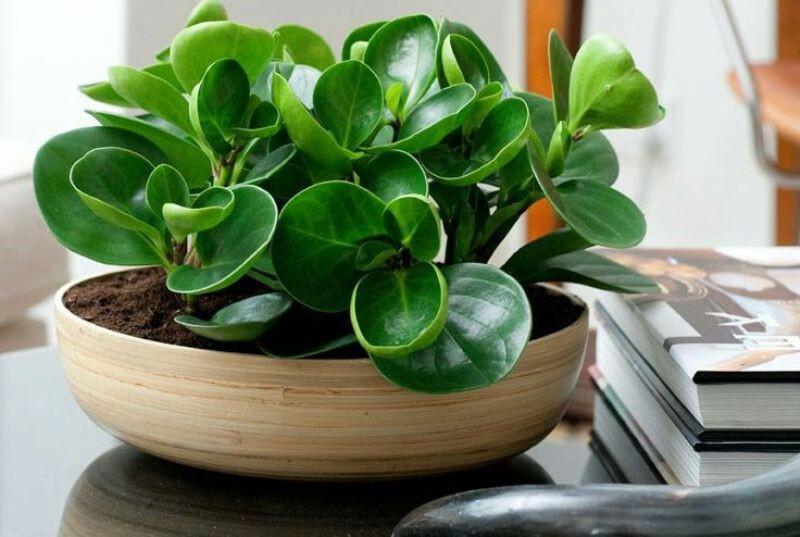 5. Baby Rubber Plant (beringin karet). Foto: WittyFeed