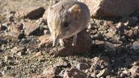 Tikus yang hidungnya panjang mirip belalai gajah. (Reuters)