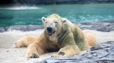 Beruang kutub tua, Inuka duduk di atas tempat tidur pasir dalam kandangnya di Kebun Binatang Singapura, Jumat (13/4). Inuka terancam disuntik mati karena kesehatannya semakin menurun. (Roslan RAHMAN/AFP)