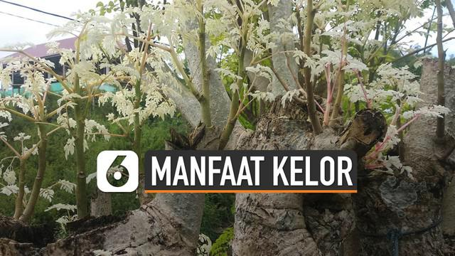 Gubernur NTT, Viktor Laiskodat instruksikan masyarakat tanam kelor di rumah. Viktor menyebut pohon kelor atau marungga sebagai tanaman ajaib.