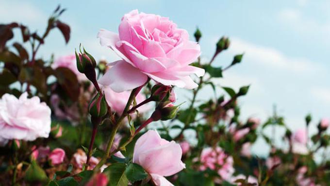 80+ Gambar Bunga Mawar Dan Strukturnya Paling Cantik