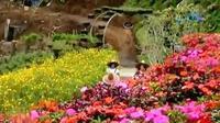 Uniknya lagi, hampir 80 persen bunga di Rainbow Garden, Lembang yang ditanam bisa dikonsumsi.