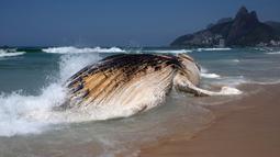 Paus bungkuk ditemukan mati dan terdampar di tepi pantai Ipanema, Rio de Janeiro, Brasil, Rabu (15/11). Ahli Biologi Laut, Rafael Carvalho mengatakan bahwa paus tersebut tampaknya telah mati berhari-hari. (AFP PHOTO / Leo Correa)