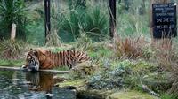 Seekor harimau Sumatera bernama Jae Jae meminum air kolam saat dilakukan sensus binatang di Kebun Binatang ZSL London, Inggris, Kamis (3/1). Sensus tahunan ini wajib dilakukan sebagai persyaratan izin kebun binatang. (Adrian DENNIS/AFP)