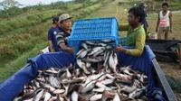 Harga ikan air tawar di Palembang tidak naik karena banyak disuplai dari Palembang dan daerah lain di Sumatera Selatan seperti Kabupaten Ogan Komeling Ilir, Musirawas, Oku Timur dan Musi Banyuasin. (Dok KKP)
