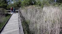 Rumput gelagah terbukti lebih efisien untuk membersihkan air limbah. (Source: AP)