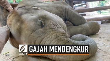 Pernah mendengar suara gajah mendengkur saat tidur? Seekor bayi gajah di Thailand mengeluarkan suara lucu saat tidur siang.
