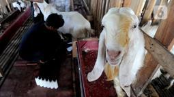 Kambing peranakan Etawah berada dalam kandang saat peternak Fuad Farurahman memerah susu di Jiwanta Farm, Cibeuteng Udik, Bogor, Jawa Barat, Kamis (8/4/2021). Dalam sehari dapat dihasilkan 20 liter susu kambing yang dijual dengan harga Rp 40 ribu per liter. (merdeka.com/Arie Basuki)