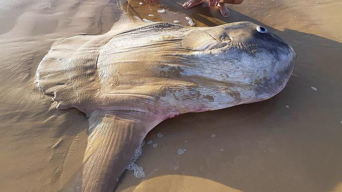 Seekor ikan matahari (Mola mola) berukuran raksasa ditemukan mati terdampar di bibir sungai Murray, Australia Selatan pada 16 Maret 2019. Penemu bangkai ikan ini adalah penduduk setempat bernama Linette Grzelak. (Handout/Courtesy of Linette Grzelak/AFP)