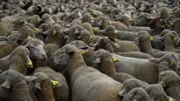 Sekelompok domba digembalakan melewati pusat kota Madrid, Spanyol, Minggu (22/10). Ribuan domba yang digiring pemiliknya melintasi kota dari kawasan pegunungan di utara menuju kawasan yang lebih hangat di bagian selatan. (PIERRE-PHILIPPE MARCOU/AFP)