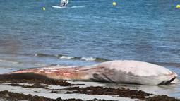 Kondisi bangkai paus sirip yang tergeletak di pantai di Penmarc'h, Prancis barat pada Selasa (13/8/2019). Paus sepanjang 13 meter yang terdampar setelah mati di laut tersebut merupakan mamalia terbesar kedua di dunia. (Photo by Fred TANNEAU / AFP)