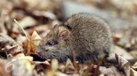 ilustrasi tikus (iStockphoto)