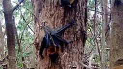 Kelelawar menggantung di pohon saat gelombang panas di Campbelltown, Australia, 8 Januari 2018.  Sydney diterpa suhu terpanas sejak 78 tahun terakhir dengan suhu mencapai 45 derajat celcius. (Help Save the Wildlife and Bushlands in Campbelltown/AFP)