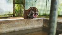 Atan, salah satu Harimau Sumatera yang dievakuasi dari habitatnya karena masuk pasar Kabupaten Indragiri Hilir. (Liputan6.com/M Syukur)